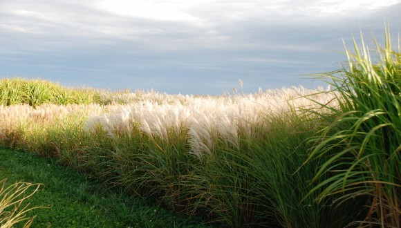 Miscanthus (Energy Grass) used for biofuels