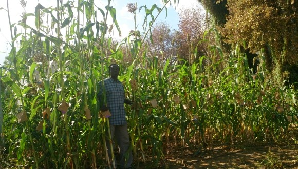Dr. Bombom standing in his Sorghum field in TAU's Botanical Garden